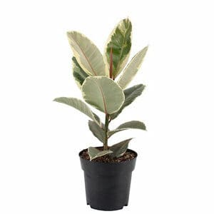 Assorted Rubber plant in 17cm Pot