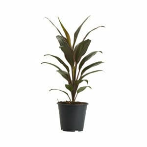 Good luck plant in 12cm Pot