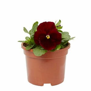 Pansy Red with blotch Spring Bedding plant 10.5cm Pot Pack of 6