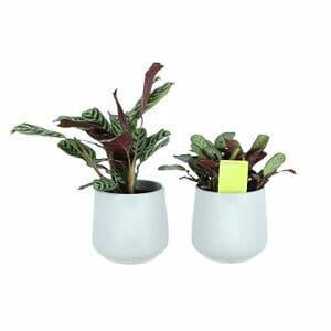 Prayer plant in 12cm Pale grey Ceramic Decorative pot