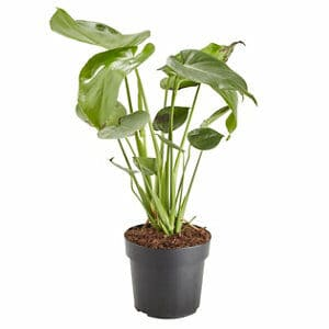 Swiss cheese plant in 17cm Pot