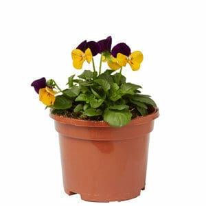 Viola Orange jump up Spring Bedding plant 10.5cm Pot Pack of 6